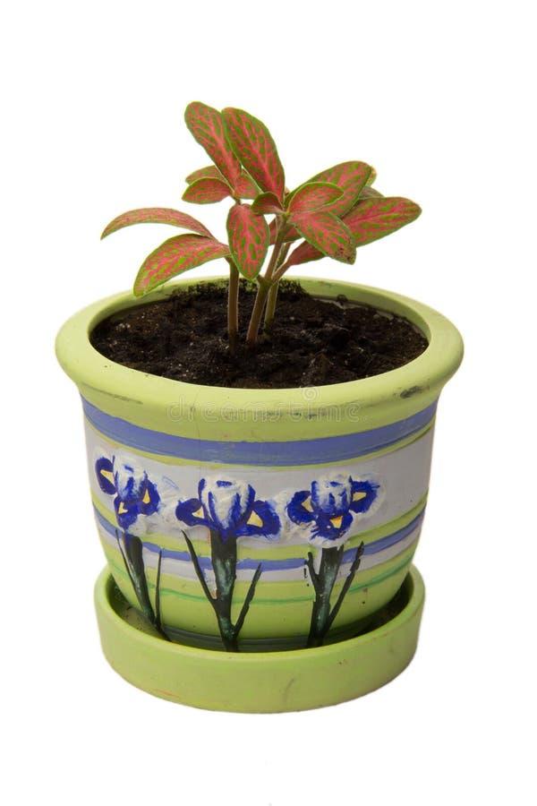 Een bloem in een pot royalty-vrije stock afbeelding
