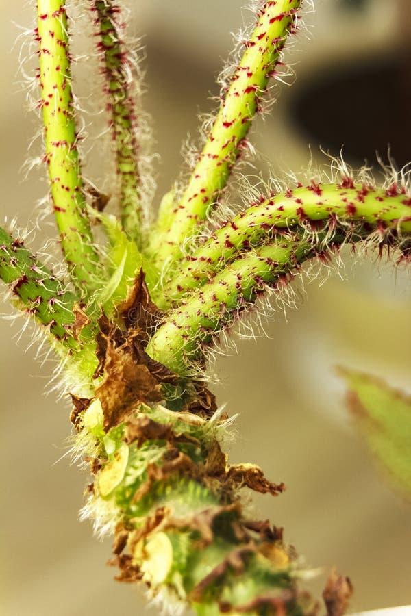 Een bloem met een zeer mooie die stam met villi van rode en witte kleur wordt behandeld stock fotografie