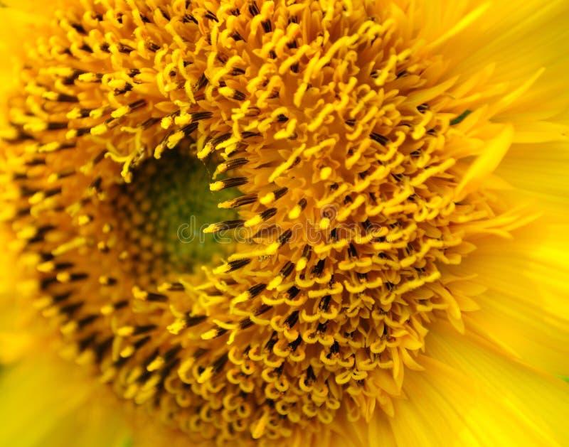 Een bloem van de Zon in de Zomer stock fotografie