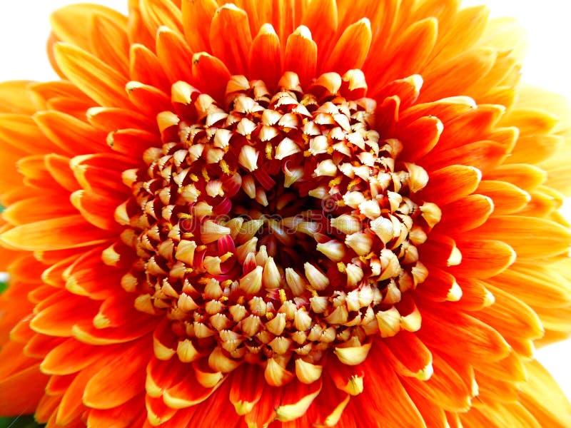 Een bloem van Gerbera Pomponi Bonita in close-upmening stock foto