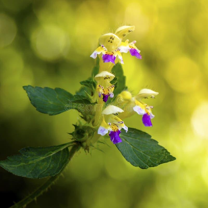 Een bloem van hennepnetel stock foto's
