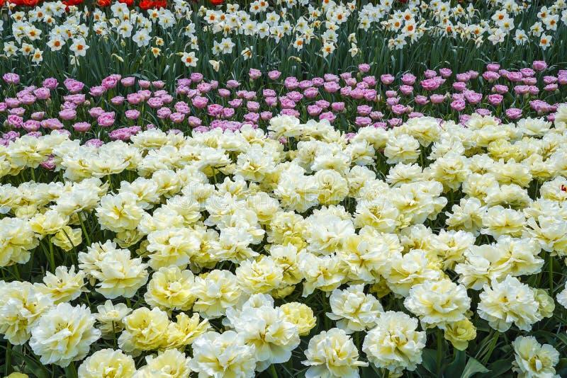 Een bloembed met lichtgele Pioentulpen die door roze tulpen en witte gele narcissen worden gevolgd royalty-vrije stock afbeeldingen