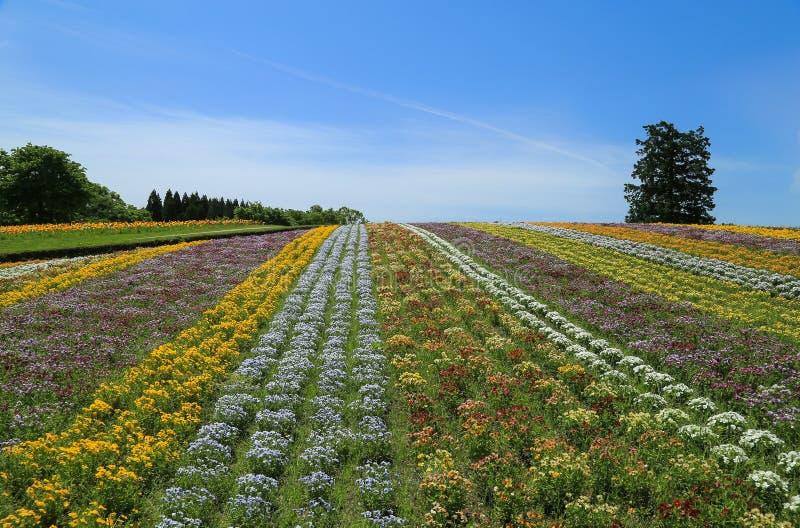 Een bloemgebied van pansies De Bloempark van Tottorihanakairo stock afbeeldingen