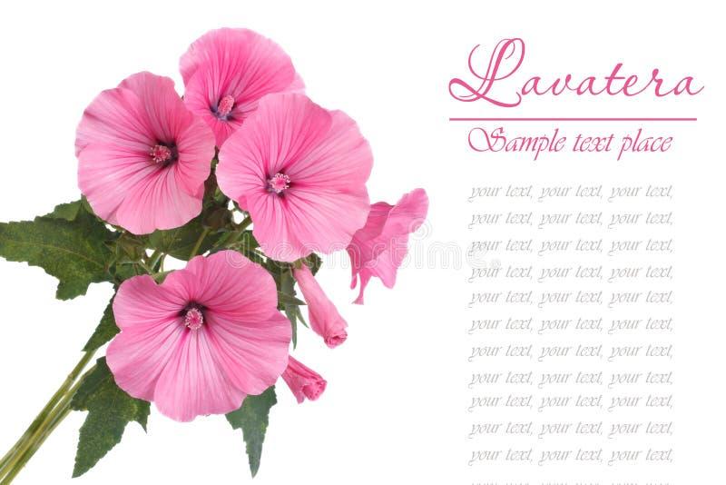 Een boeket van bloemen Lavatera op een wit wordt geïsoleerd dat royalty-vrije stock fotografie