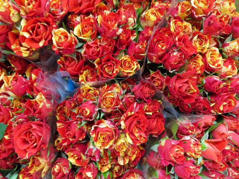 Een boeket van de verse mooie rozen van Bourgondië in een vaas stock afbeelding
