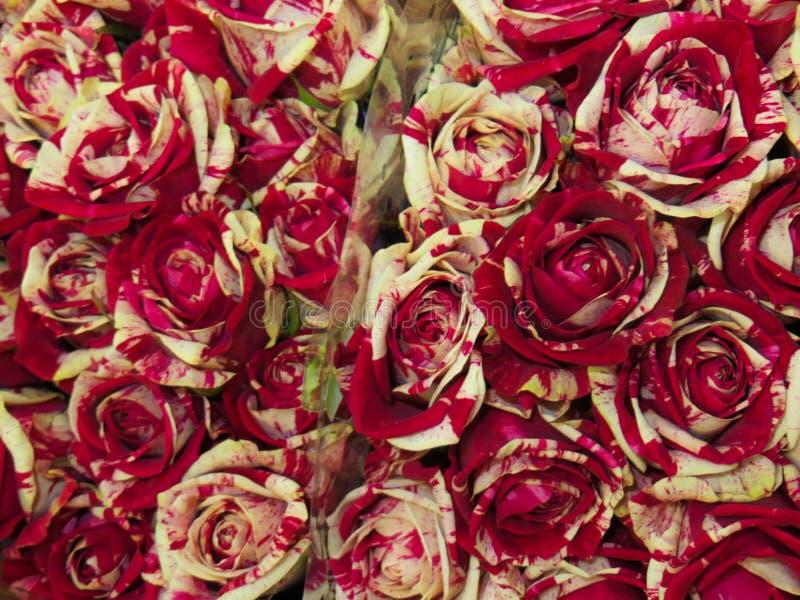 Een boeket van de verse mooie rozen van Bourgondië in een vaas royalty-vrije stock afbeeldingen