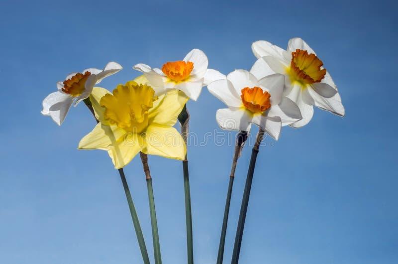 Een boeket van gele narcissen door de zon tegen de blauwe hemel worden aangestoken die royalty-vrije stock foto