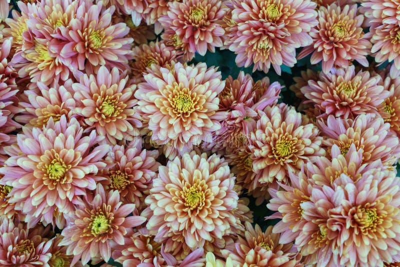 Een boeket van mooie chrysant bloeit in openlucht Chrysanten in de tuin stock afbeeldingen