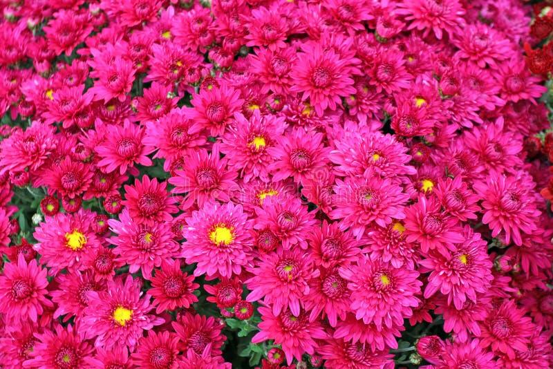 Een boeket van mooie chrysant bloeit in openlucht Chrysanten in de tuin Kleurrijke bloemchrisanthemum Bloemen patroon royalty-vrije stock foto