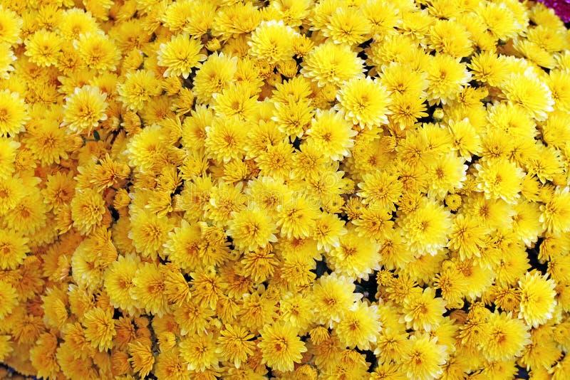 Een boeket van mooie chrysant bloeit in openlucht Chrysanten in de tuin Kleurrijke bloemchrisanthemum Bloemen patroon royalty-vrije stock fotografie