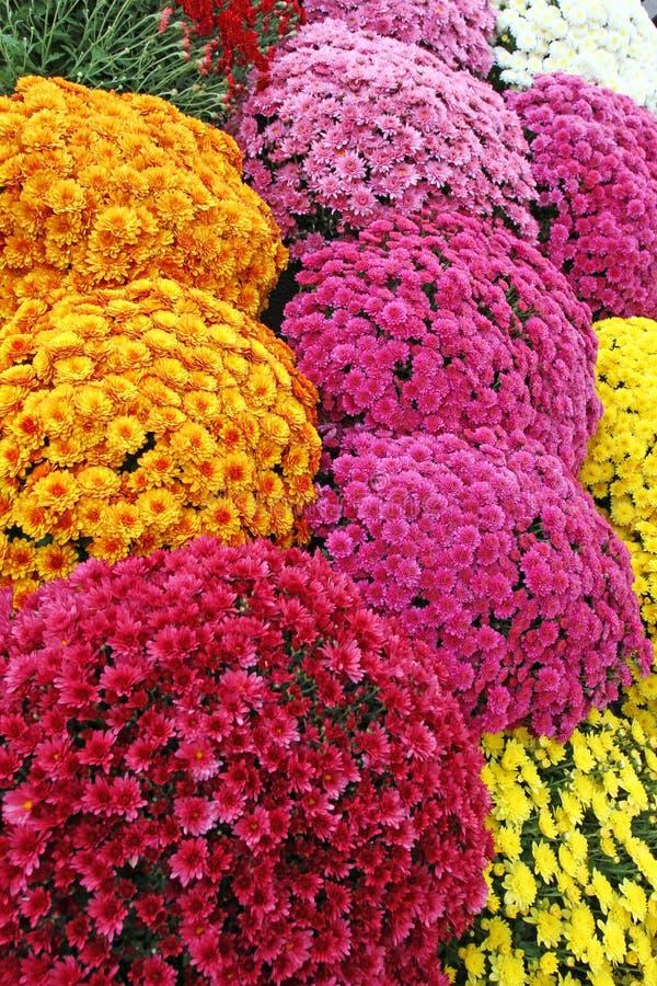 Een boeket van mooie chrysant bloeit in openlucht Chrysanten in de tuin Kleurrijke bloemchrisanthemum Bloemen patroon stock foto's