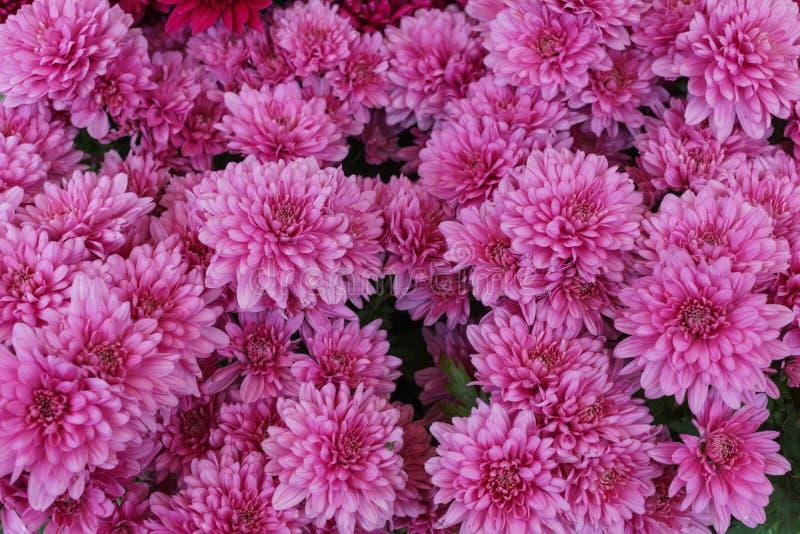 Een boeket van mooie roze chrysant bloeit in openlucht Chrysanten in de tuin stock fotografie