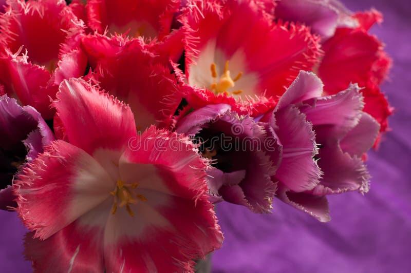 Een boeket van rode en roze tulpen op een heldere purpere achtergrond royalty-vrije stock afbeeldingen
