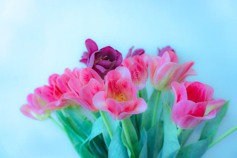 Een boeket van roze en violette tulp, het bloeien en groene bladeren op blauw behang royalty-vrije stock afbeelding