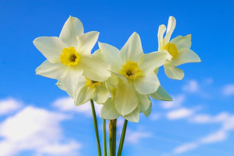 Een boeket van witte gele narcissen met een geel centrum tegen een blauwe hemel en gras op een zonnige dag stock foto's