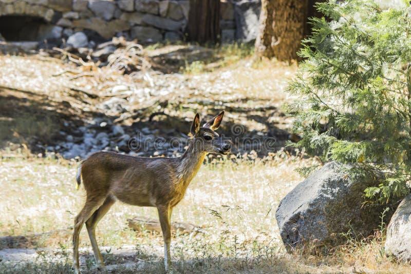 Een bok in het Nationale Park van Yosemite royalty-vrije stock afbeelding
