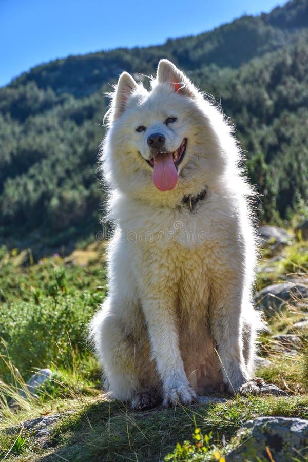Een bont witte hondzitting contre-jour in de bergen royalty-vrije stock afbeeldingen