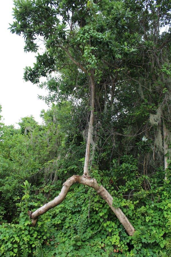 Een boom die weigerde te sterven stock afbeelding