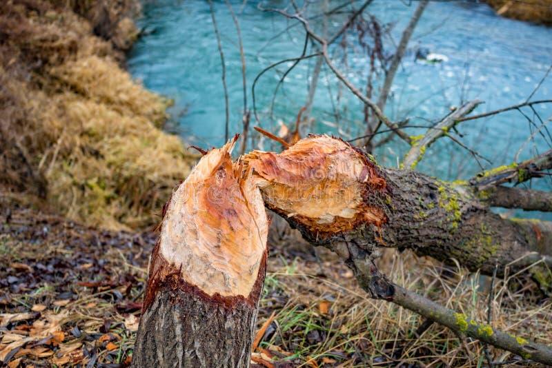 Een boom door bevers wordt gebeten die royalty-vrije stock foto's