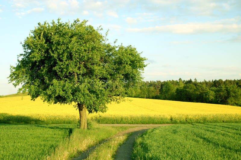 Een boom, een geel gebied en een weg royalty-vrije stock foto
