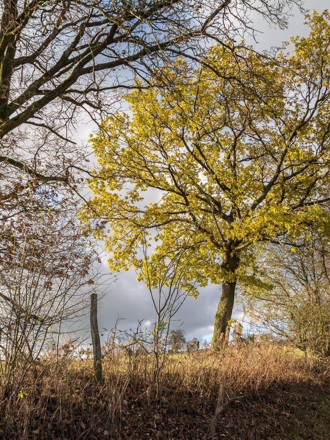 Een boom is geschetst met zijn gouden kroon tegen de de winteraard stock foto