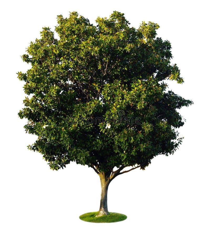 een boom met een witte achtergrond 2 stock afbeelding