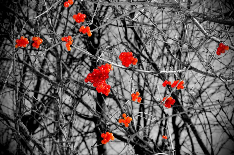 Een boom met rode bessen van een viburnum royalty-vrije stock foto