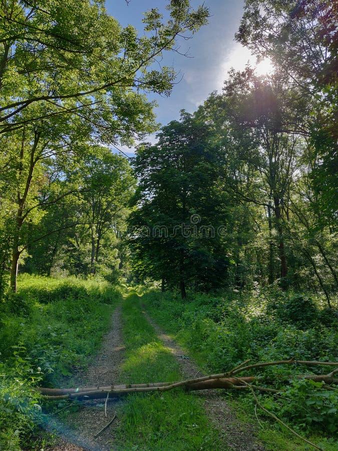 een boom op een weg in het groene bos met blauwe hemel en glanzende zon royalty-vrije stock foto
