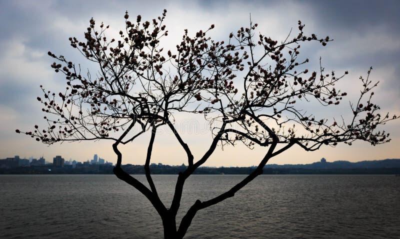Een boom van de perzikbloesem met perzikbloesems op wordt het het westenmeer van hangzhou gesilhouetteerd in de avond stock fotografie