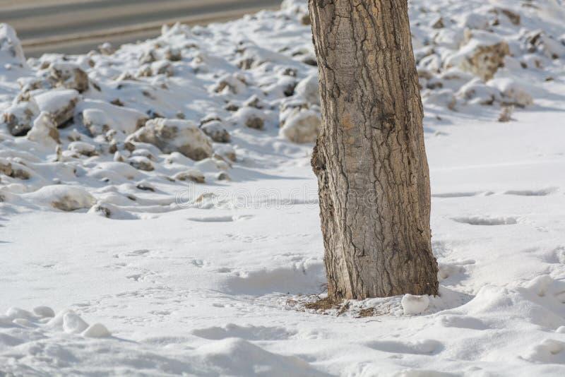 Een boom in vuile sneeuw Vuile sneeuw door de weg Boom dichtbij de weg in de winter stock foto