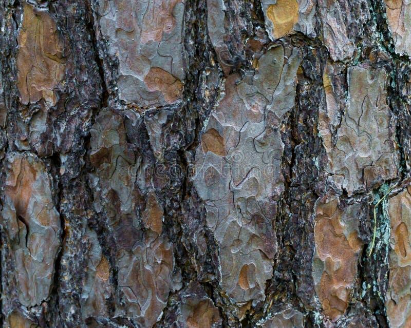 Een boomboomstam met grote schors in macroclose-up natuurlijke bostextuur als achtergrond stock afbeelding