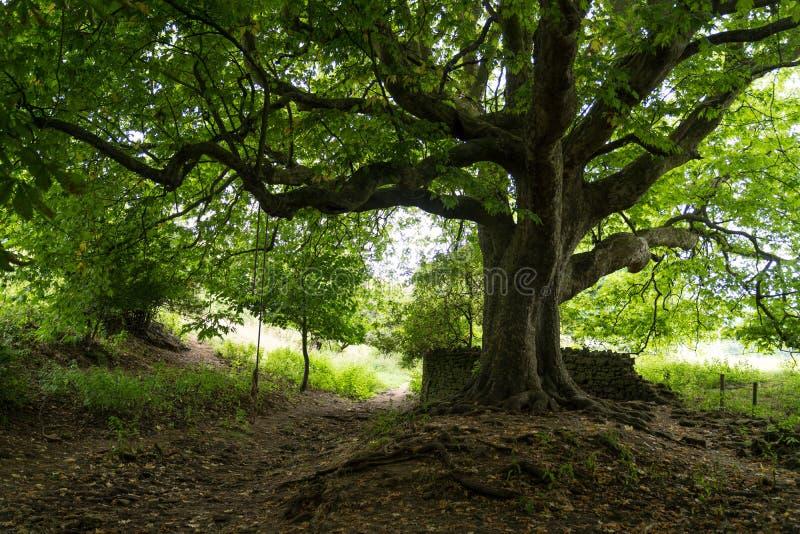 Een boomstam en de takken van de Vliegtuigboom met een sloot en een voetpad onderaan Dichtbij Abbotsbury, Engeland, het Verenigd  royalty-vrije stock fotografie