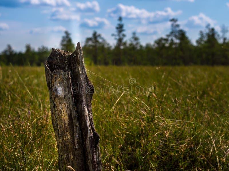 Een boomstam van een boom in moeras stock afbeeldingen