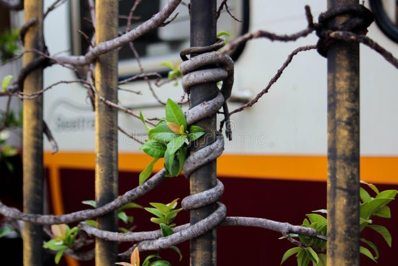 Een boomtak rond een metaalbar, van een poort, dichtbij de Stad van Vatikaan, Rome Italië wordt verpakt dat stock fotografie