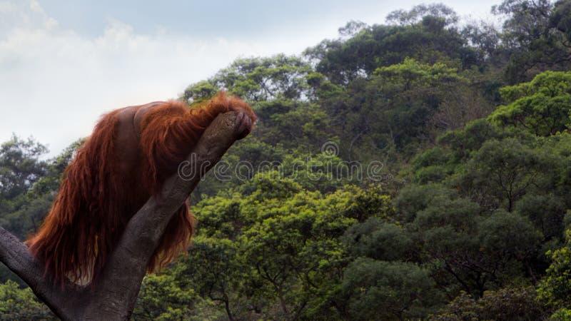 Een Bornean-orangoetan, Pongo-pygmaeus, tot de bovenkant van de boom met blauwe hemel wordt beklommen die royalty-vrije stock afbeelding