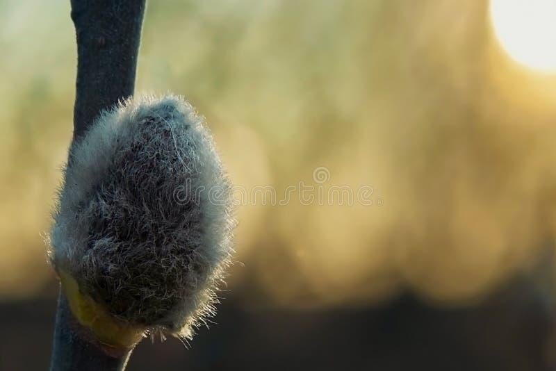 Een borst van beren van de lenteweer stock afbeeldingen