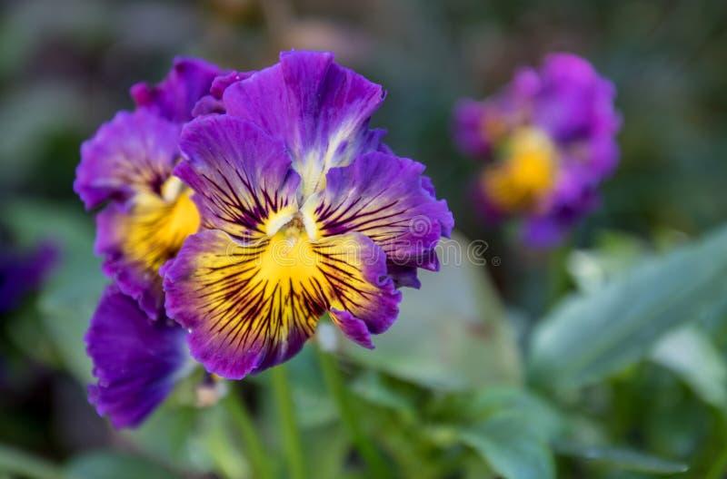 Een Bos Pansy Flowers In Bloom stock afbeeldingen