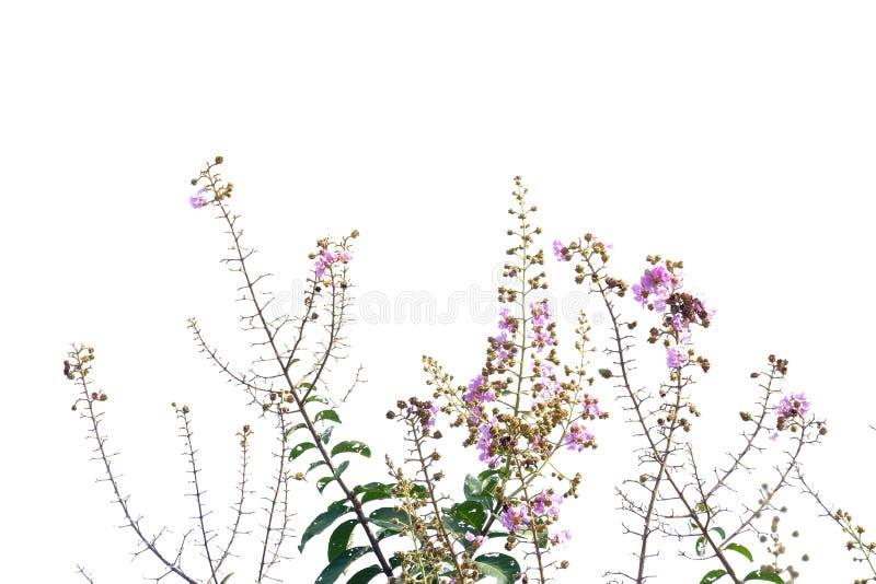 Een bos van de purpere bloesem van de lagerstroemiabloem in een tuin stock foto's