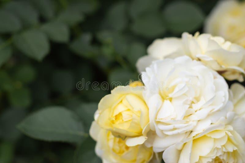 Een bos van gele en witte rozen op een groene tak met bladeren in de tuin De bloemenachtergrond van de zomer stock fotografie