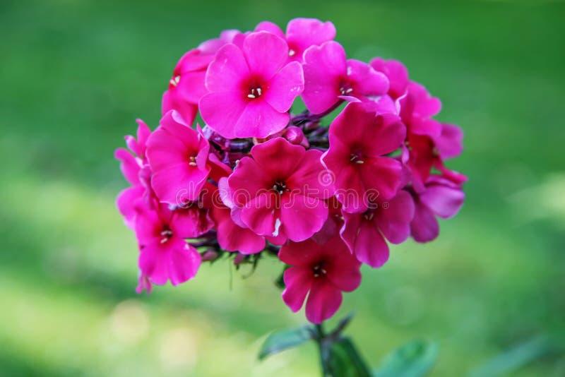 Een bos van mooie rode bloemen op een groene vage achtergrond stock foto's