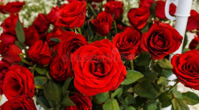 Een bos van mooie rode rozen met groene die bladerenfoto in Semarang Indonesië wordt genomen stock afbeeldingen