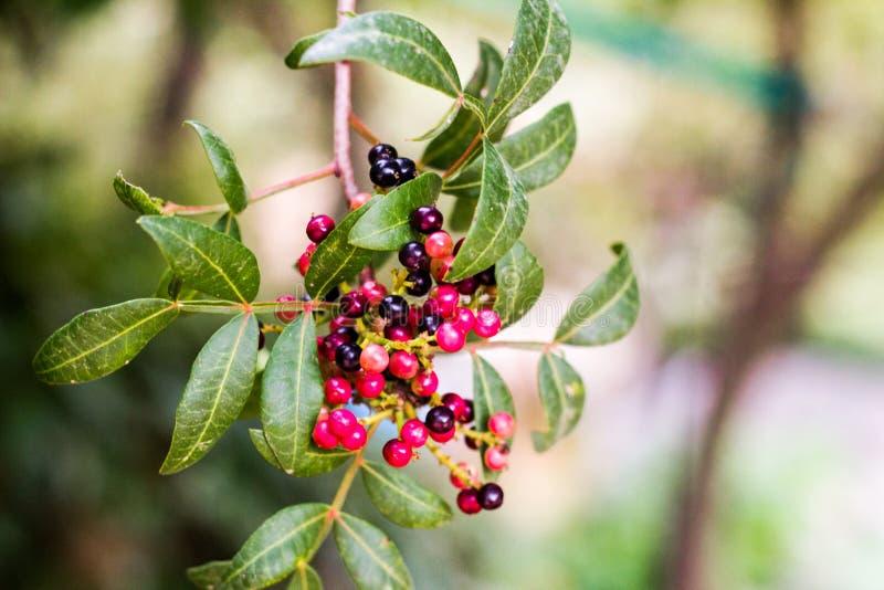 Een bos van rode bessen in een boom stock foto's