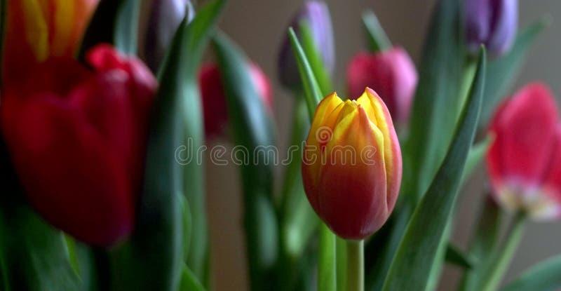 Een bos van tulpen, rood, geel, purper en rood royalty-vrije stock foto's