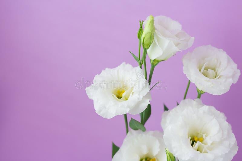 Een bos van witte eustoma bloeit op purpere achtergrond met beschikbare ruimte stock fotografie