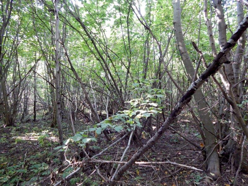 Een bosje die uit jonge populieren bestaan stock afbeeldingen