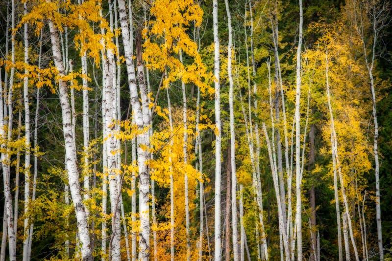 Een bosje van espbomen met dalingsgebladerte stock afbeeldingen