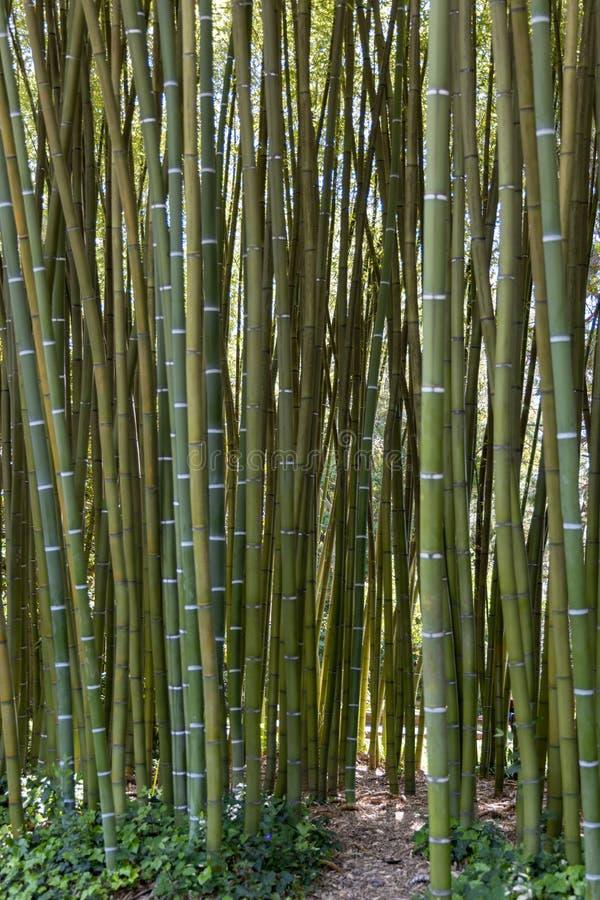 Een bosje van het Gestreepte Bamboe groeien in Itali? stock afbeelding