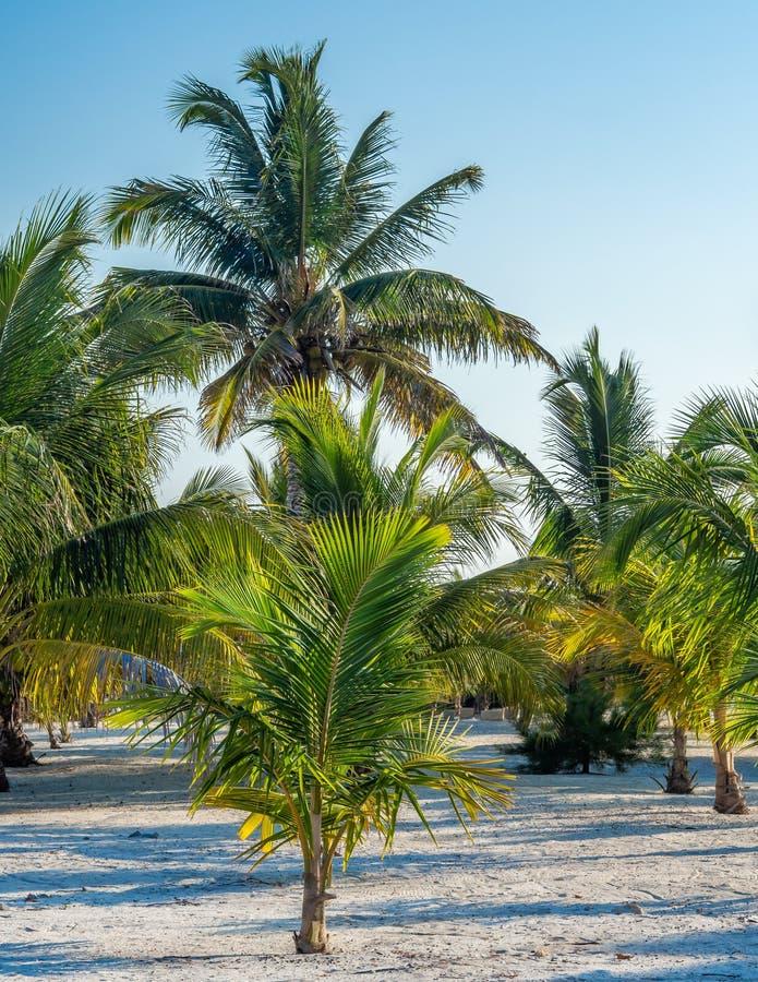 Een bosje van jonge palmen in het zand stock foto