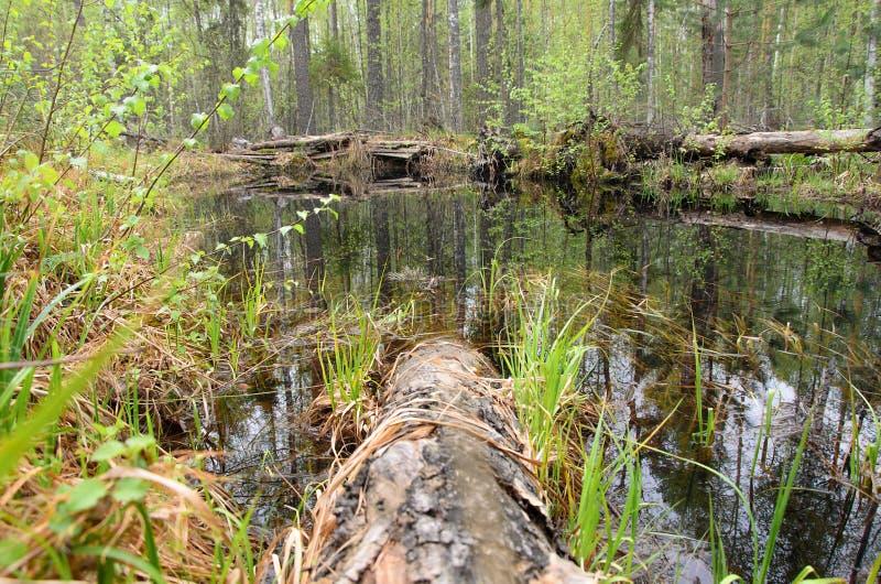 Een bosmoeras met gevallen pijnboomboomstammen in de vroege lente stock afbeelding