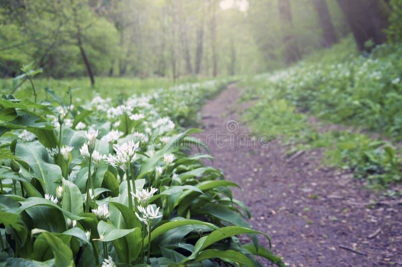 Een bosweg in de lente, met wild knoflook bloeit Alliumursinum bekledend de grond royalty-vrije stock foto's